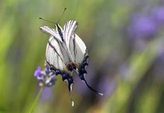 Karminrote Flügel stockfotografie