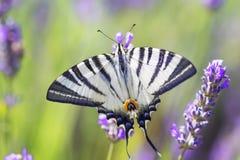 Karminrote Flügel stockbilder