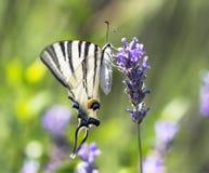 Karminrote Flügel stockbild