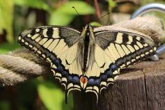 Karminrote Flügel Stockfoto