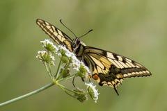 Karminrote Flügel Stockfotos