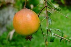Karminrote Frucht auf Baum, Asien 4 Lizenzfreies Stockbild