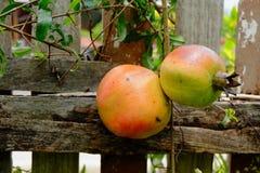 Karminrote Frucht auf Baum, Asien 6 Stockbilder