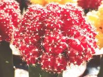 Karminroter Ballkaktus Gymnocalycium oder roter Kappenkaktus angebaut am Gewächshaus Selektiver Fokus lizenzfreies stockbild