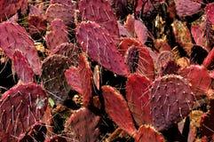 Karminroter roter stachelige Birnen-Kaktus Stockfotos