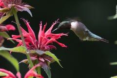 Karminroter Throated Kolibri Stockbild