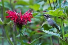 Karminroter Throated Kolibri Stockfotos