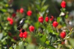 Karminroter throated Kolibri gehockt Lizenzfreie Stockfotos