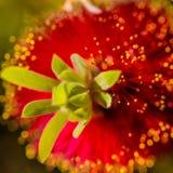Karmosinröd Bottlebrushblom Fotografering för Bildbyråer