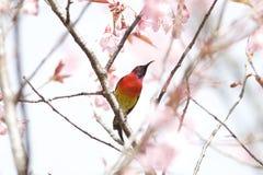 Karmosinröd nationalpark för solfågelindranon Royaltyfria Bilder