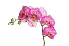 Karmosinröd orkidé Fotografering för Bildbyråer