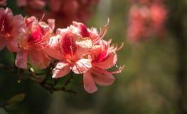 Karmosinröd persika sakura, blommor för körsbärsröd blomning av Nara Arkivbilder