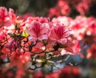 Karmosinröd persika sakura, blommor för körsbärsröd blomning av Nara Royaltyfri Fotografi
