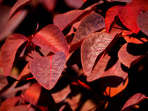 Karmosinröd räkning Arkivfoto
