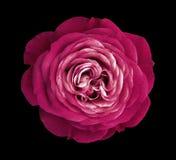 Karmosinröd rosblomma svart isolerad bakgrund med den snabba banan Natur Closeup inga skuggor Royaltyfri Fotografi