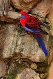 Karmosinröd rosella, Platycercus elegans, färgglat papegojasammanträde på vagga Djur i naturlivsmiljön, Australien Papegojasittin royaltyfri bild