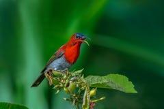Karmosinröd Sunbird eller Aethopyga siparaja royaltyfri foto