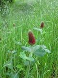 Karmosinröd växt av släktet Trifolium, Trifoliumincarnatum Fotografering för Bildbyråer