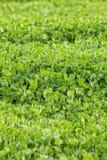 Karmosinröd växt av släktet Trifolium (Trifoliumincarnatumen) Royaltyfria Bilder