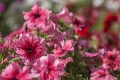 Karmosinröda petunior i ljust solljus royaltyfri bild