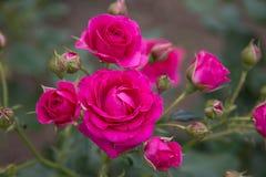 Karmosinröda Rose Bush Royaltyfri Bild