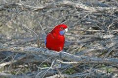 Karmosinröda Rosella, en härlig papegojainföding till skogar i östliga och sydliga Australien fotografering för bildbyråer