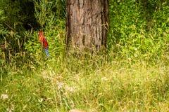 Karmosinröda rosellaPlatycercus elegans mekaniskt säga efter fågeln i Australien royaltyfri fotografi