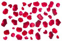 Karmosinröda roskronblad Arkivfoton