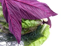 Karmowa fotografia, zielona sałata i purpura basil zamknięta w górę, fotografia stock