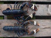 karmowi homary wprowadzać na rynek dwa fotografia stock