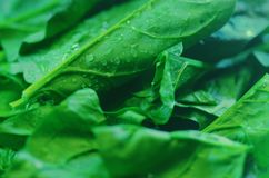 karmowy świeży japoński sałatkowy warzywo zdjęcia stock