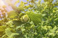 karmowy świeży zielony hazelnut drzewa jarosz Obrazy Stock