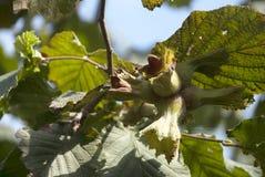 karmowy świeży zielony hazelnut drzewa jarosz Zdjęcie Stock