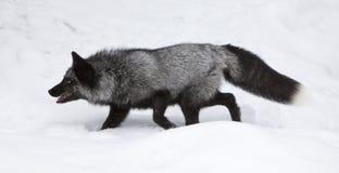 karmowy lisa polowania srebro Obrazy Stock