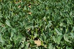 karmowy narastający grochowej rośliny warzywo obrazy stock