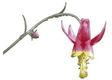 Karmozijnrode Akelei Royalty-vrije Stock Afbeelding