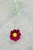 Karmozijnrode bloem in bloei Royalty-vrije Stock Foto's