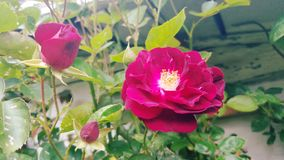 Karmozijnrode Bush-rozen Royalty-vrije Stock Foto's