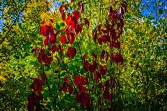Karmozijnrode de veranderings abstracte achtergrond van de bladerenherfst stock afbeeldingen