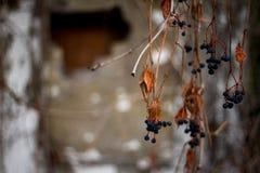 Karmozijnrode droge takken van wilde druiven met bessen en bladeren selectief nadrukachtergrond of concept stock afbeeldingen