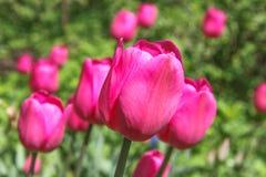 Karmozijnrode heldere tulpen Stock Foto