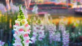 Karmozijnrode leeuwebekbloem, leeuwebekbloem Royalty-vrije Stock Afbeelding