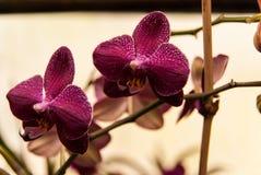 Karmozijnrode Phalaenopsis-dans stock foto