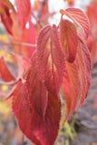 Karmozijnrode rode bladeren Stock Foto
