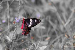 Karmozijnrode Rose Butterfly Stock Afbeeldingen