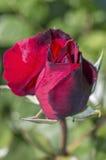 Karmozijnrode rosebud op groen Stock Foto's