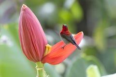Karmozijnrode sunbird royalty-vrije stock foto's