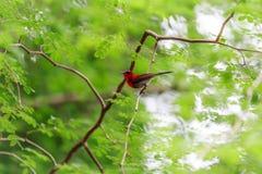Karmozijnrode sunbird royalty-vrije stock afbeelding