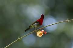 Karmozijnrode sunbird op Chinees-hut royalty-vrije stock afbeelding