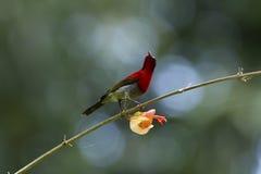 Karmozijnrode sunbird op Chinees-hut stock fotografie